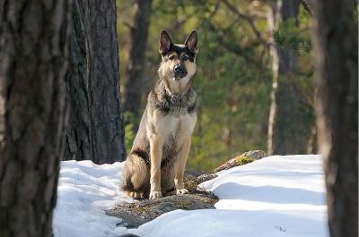b-german-shepherd-on-guard-e1447869028581